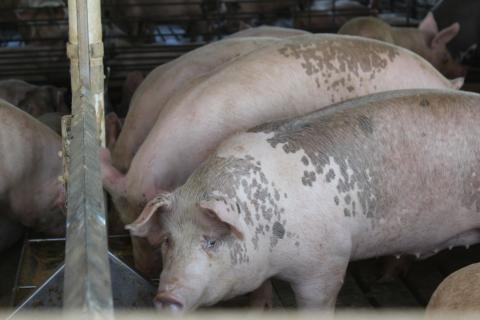 Researchers found antibiotic-resistant bacteria at a sow farm in the US.