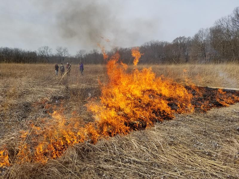 A fire burns through the dead prairie grass in a field at Green Oaks.  The fire leaves a blackened field to encourage faster growth of new grass.