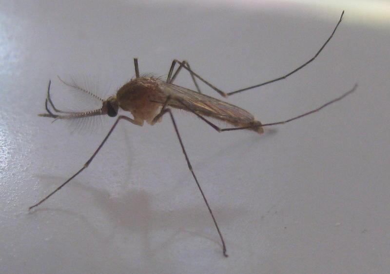A culex mosquito