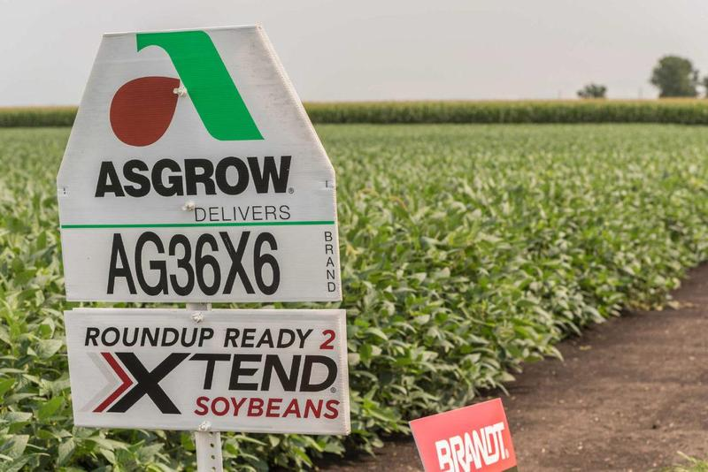 Dicamba-resistant soybeans grown in a field in rural McLean County, Illinois, in August.