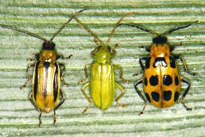 Corn Rootworm Beetles