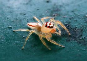 The Two-Striped Telamonia is a jumping spider found in various Asian tropical rain forests in foliage in wooded environments. A current hoax says the spider has been found in North Florida.