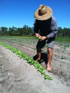 Paul Tomazin checks some baby greens on his Samsula farm.