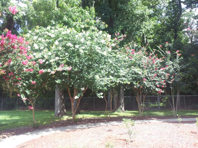 Crape Myrtle trees and with a bluberry garden.