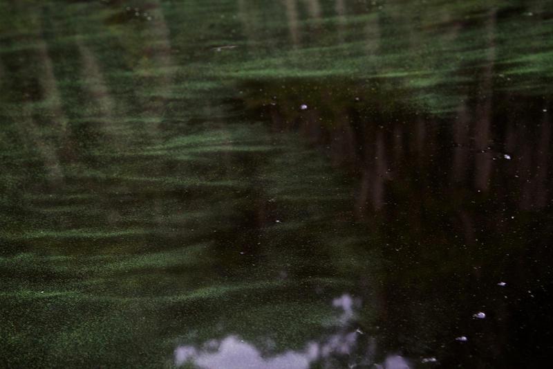 Blue-green algae (cyanobacteria) in Crescent Lake, Fla.