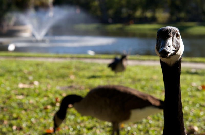 Geese and Ducks in Confederate Park contribute to the fecal coliform woes in Hogan's Creek.