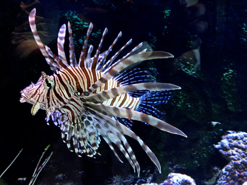 Lionfish, like this one in an aquarium at Jacksonville University's Marine Science Research Institute, are native to the South Pacific.
