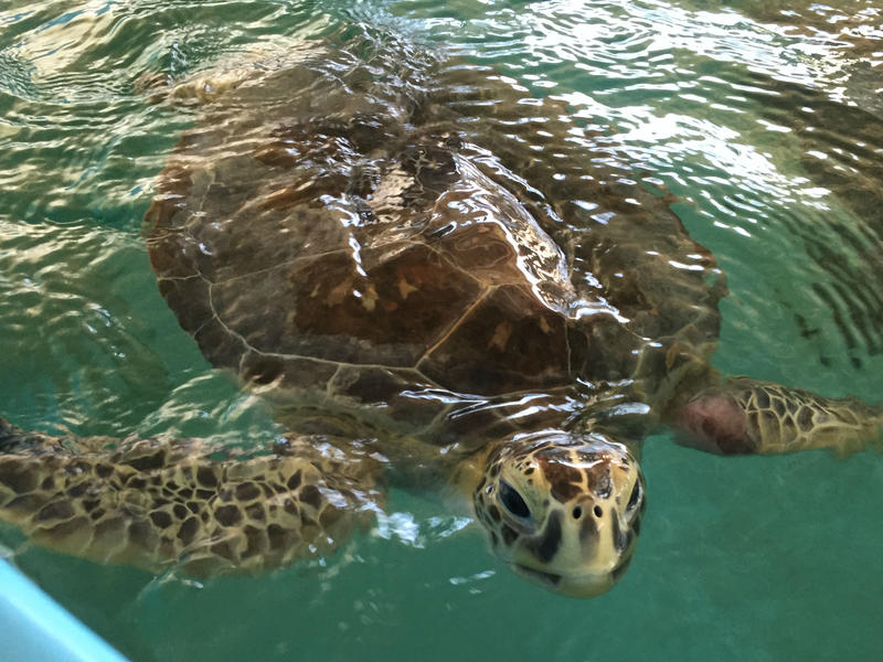 Mean Joe Green is a patient at the Sea Turtle Hospital at Whitney Laboratory for Marine Bioscience