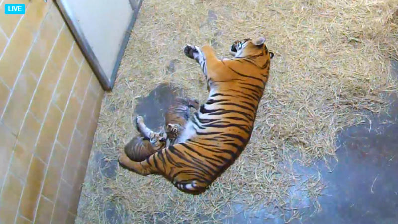 Live Video Sumatran Tiger Cubs And Mom At The