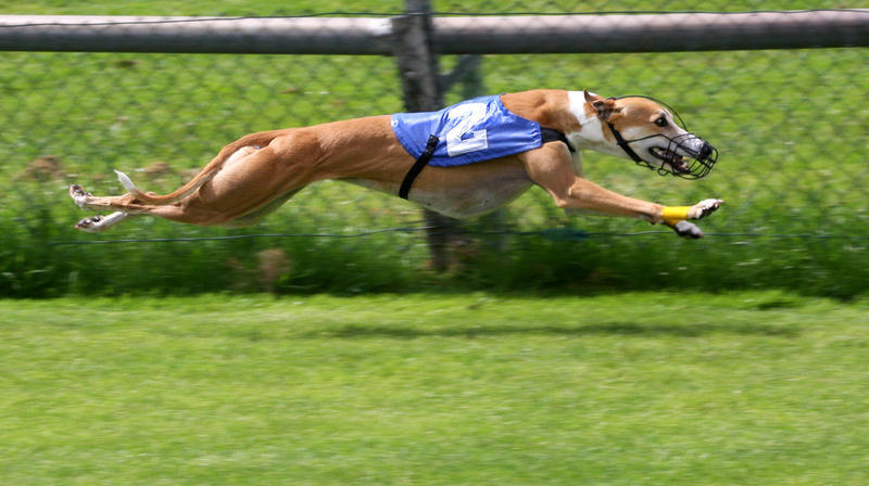 A greyhound is pictured racing.