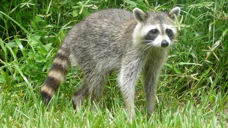 A common racoon from Birch State Park in Fort Lauderdale is pictured in this file photo.