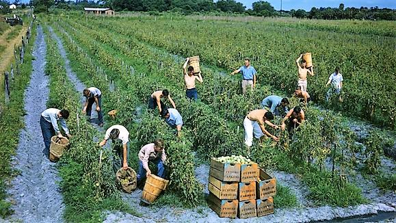 Future Farmers of America picking tomatoes in Palmetto, Florida.