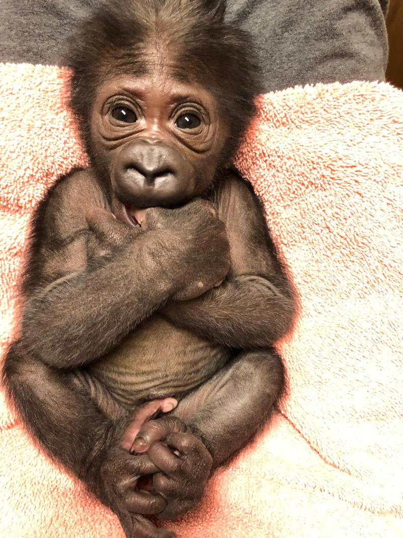 This 4.8-pound female Western lowland gorilla was born at the Jacksonville Zoo and Gardens on Sept. 28.