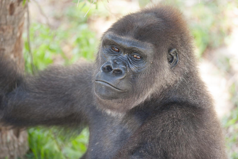 22-year-old Kumbuka gave birth to the baby gorilla.