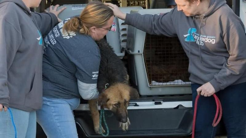 Photo of one of the German Shepherds rescued and brought to the Nassau County Humane Society.