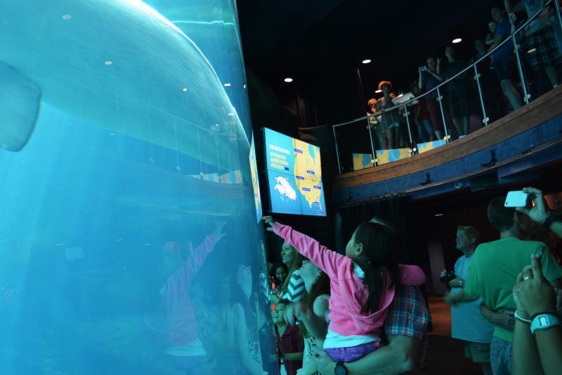 Visitors gather at the Georgia Aquarium's beluga tank.