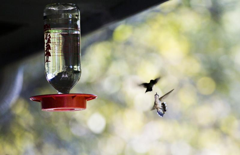 A pair of female ruby-throated hummingbirds duel over a feeder on the front porch of the Rum Creek Wildlife Management Agency office in Monroe County, Ga.