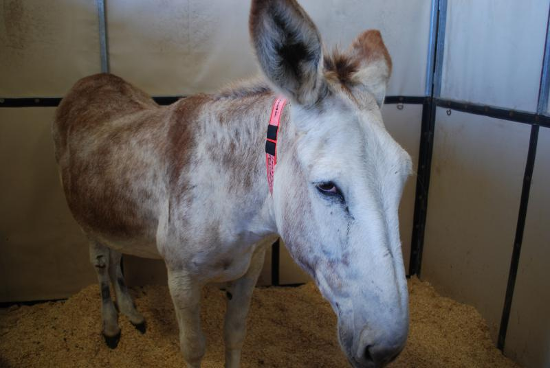 A donkey among the horses at the fairgrounds.