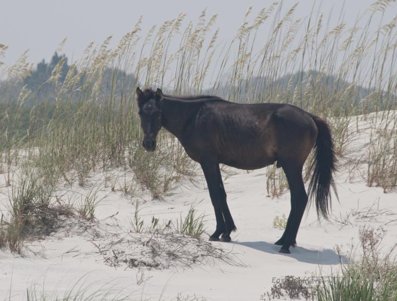 An adolescent black stallion nibbles on the dunes at Cumberland Island National Seashore, Georgia.