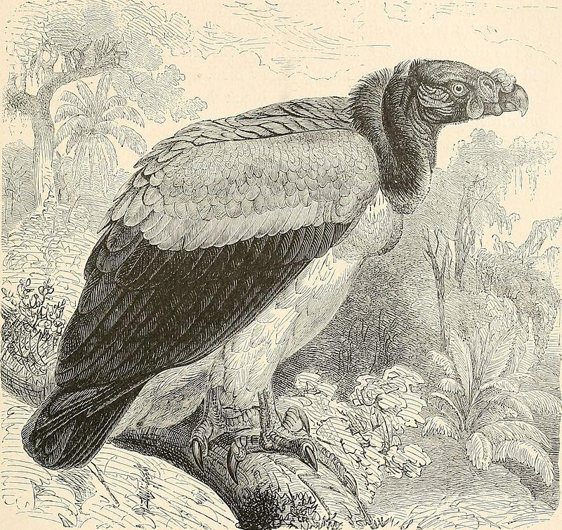 A king vulture drawn by Wirt Robinson, c. 1895.