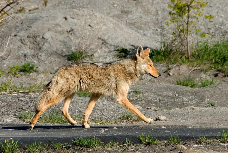 Coyotes are not native to the South, but their presence is driving Georgia to action.