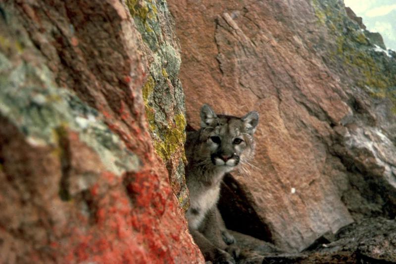 Mountain lion in the Western U.S.