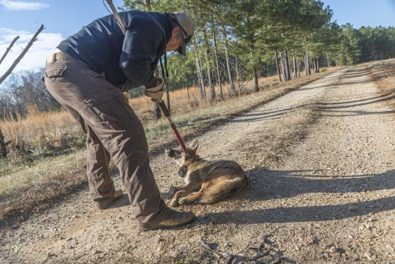 In 2015, Trapper Dan Eaton prepares to release a female coyote, wearing a GPS tracking collar, after working with scientists to include her in a three year study of coyotes in the Deep South.