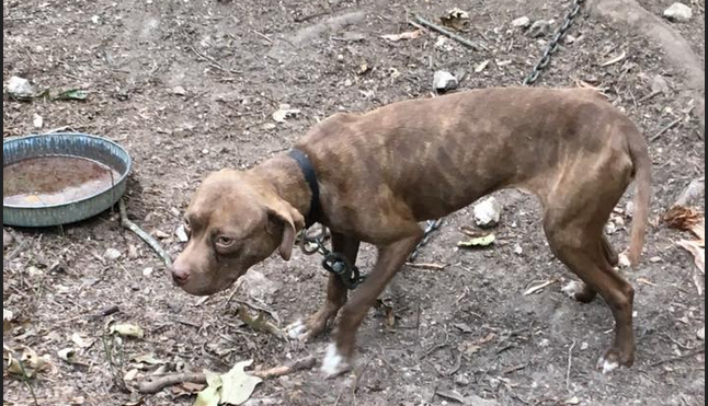 A dog found chained on Polk County property in August 2017 led to the conviction of Devecio Rowland on 214 counts of dog fighting and animal cruelty.
