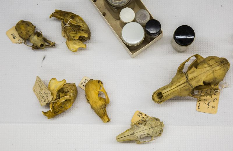 Some of the mammalian skulls in the Mercer Unviersity collection. The skulls will go to Georgia Tech.