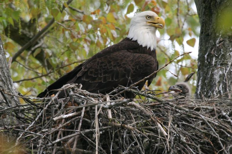 A bald eagle in a nest.