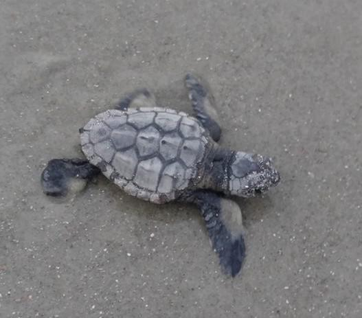 Sea Turtle hatchling on Tybee Island