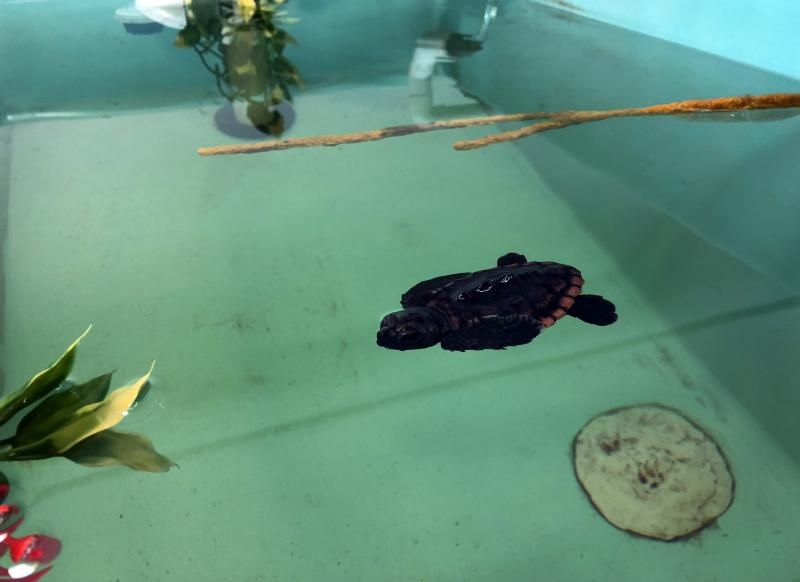 Neptune, a hatchling born on Aug. 8, is the new loggerhead ambassador at UGA's MAREX Aquarium.