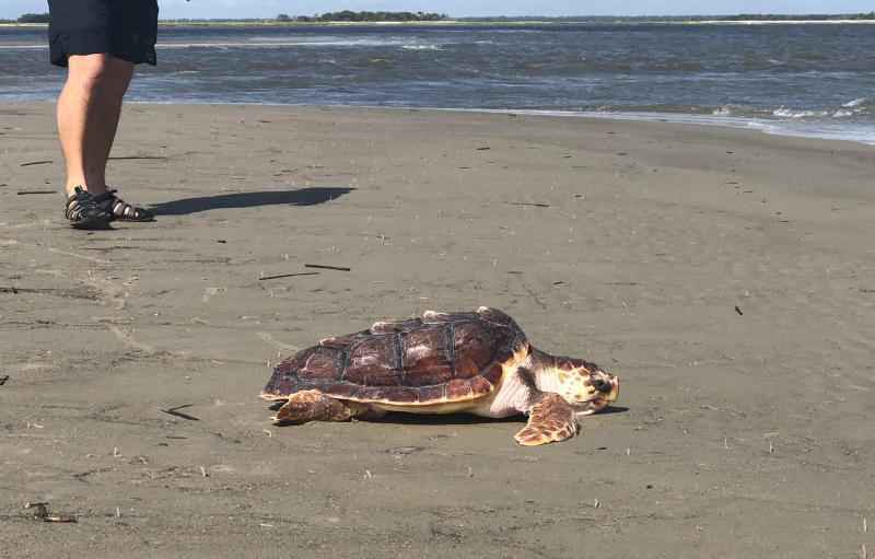Lefty the loggerhead turtle on the beach at Wassaw Island.