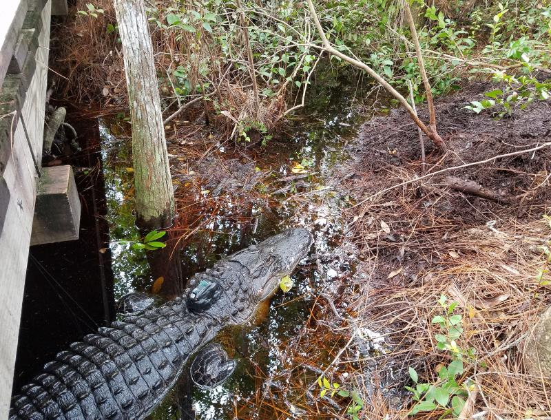 "Okefenokee Alligator ""Sassy Sally"" has a satellite tracker attached to her so researchers can learn from her movements."