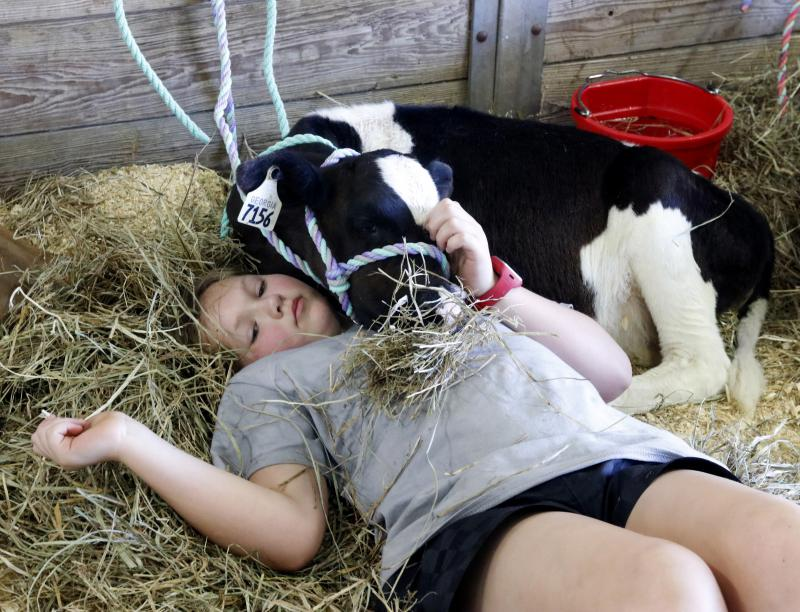 Olivia Graham, 10, of Dawsonville rests with Heaven, a Holstein Friesian cow, after a long, hot day at the Georgia National Fair. Graham traveled to the fair with her mother to show several cows throughout the weekend.