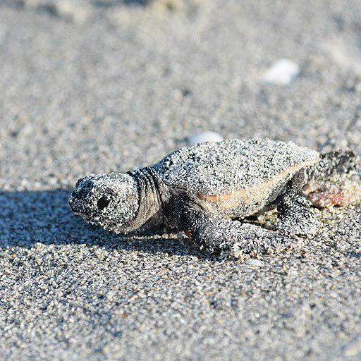 The National Park Service is working on a plan to protect sea turtles and other species from predators like raccoons and coyotes.