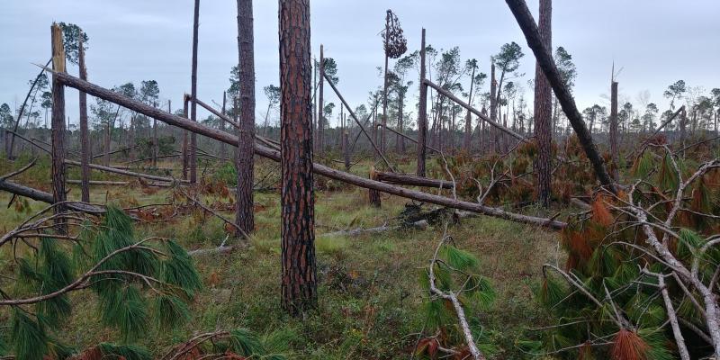 Downed longleaf pine trees in Southwest Georgia.