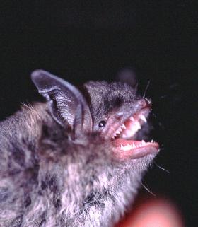 Little brown bats, or Myotis lucifugus, are the most common bats in North America and can eat three times their weight in mosquitoes, according to Brodak's website.