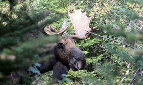 Moose are among Michigan's big game animals possibly affected by changes in climate.