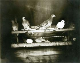 Seven passenger pigeons from the aviary at the University of Chicago, 1896.