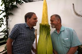 Curator Frank Telewski (left) and Peter Carrington, assistant curator, await the stench of the soon-to-bloom corpse flower from Sumatra, Indonesia.