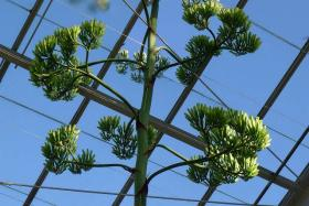 The American Agave plant in the Matthaei Botanical Gardens has bloomed at the University of Michigan.