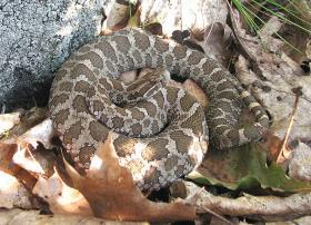 Eastern Massasauga Rattlesnake: Sistrurus Catenatus is the only rattlesnake native to Michigan.