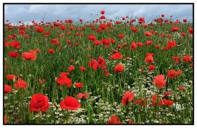 'Wild Poppies' by Marion McCready was published in 2014.