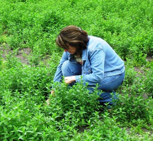 Linette Crosby on her 140-acre mint farm.