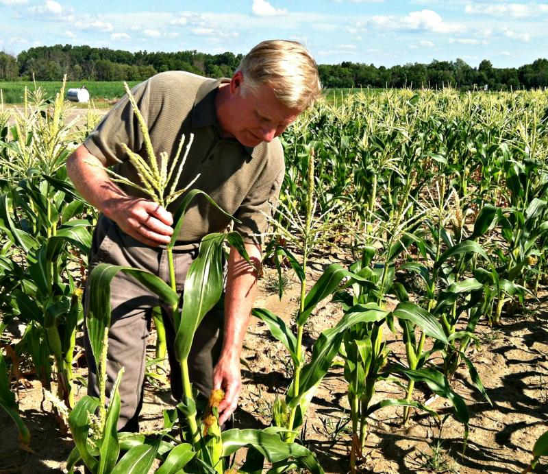 With more plentiful rain, Lane Cook's sweet corn would be a few feet taller.   The Okemos farmer is bracing for a poor harvest.