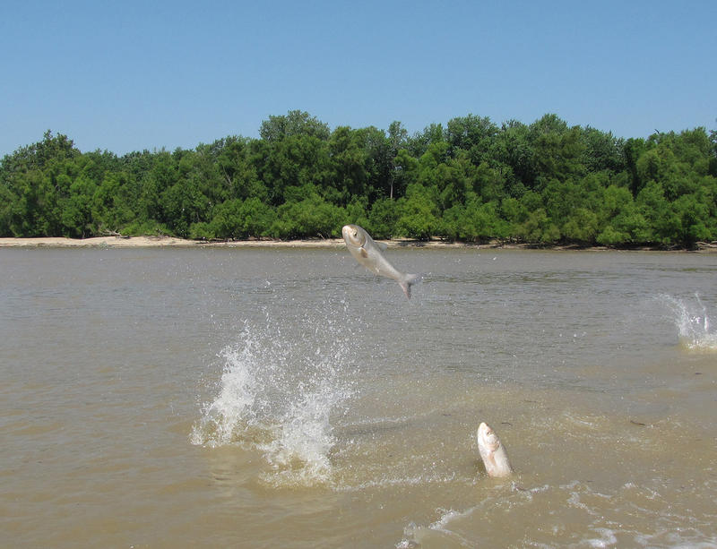 Asian Carp jumping out of the water