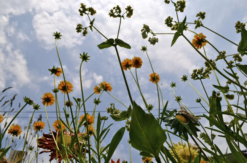 Coreopsis lanceolata (Sand Tickseed) and the previously-cited unidentified plant.