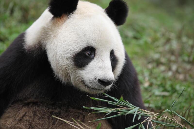Panda in the field