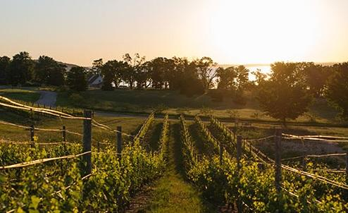 Mari Vineyards at sunset.